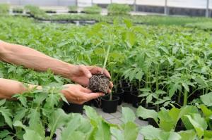 Koreninski sistem sadike paradižnika